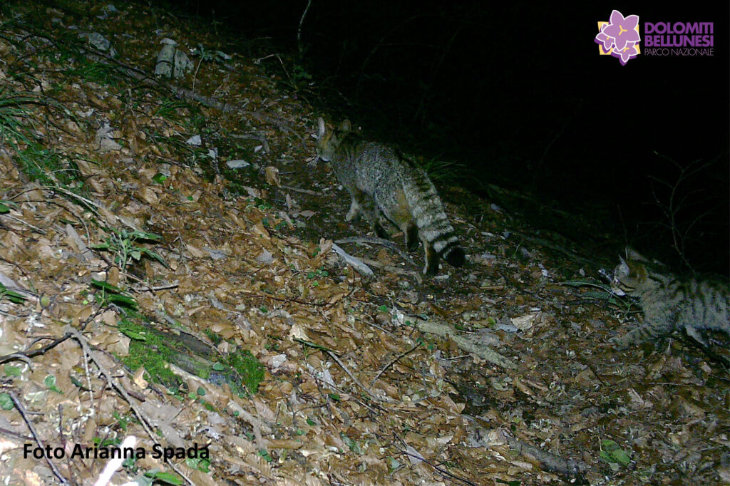 Il gatto selvatico ripreso all'interno del Parco Nazionale Dolomiti Bellunesi