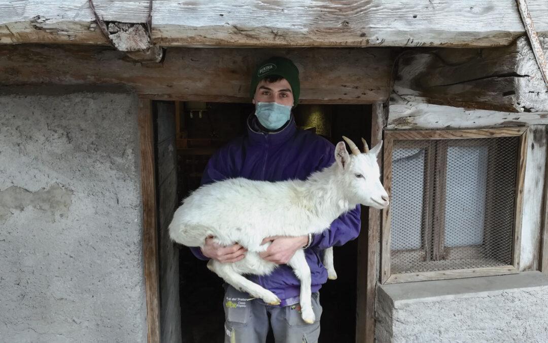Con le capre puliamo i prati. Giovani allevatori agordini crescono